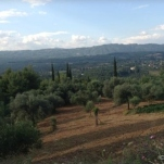 The Olive Groves of Olympia