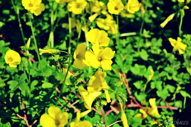 yellowflowerstxt1